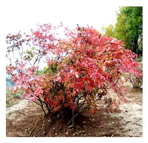 紫斑牡丹树